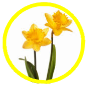 Two daffodils in a yellow circle